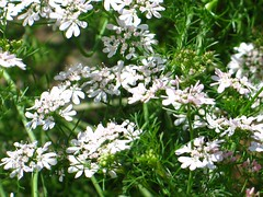 iberis sempervirens(0.0), cow parsley(0.0), candytuft(0.0), anthriscus(0.0), caraway(0.0), blossom(1.0), shrub(1.0), flower(1.0), plant(1.0), breckland thyme(1.0), galium odoratum(1.0), herb(1.0), wildflower(1.0), flora(1.0), produce(1.0),