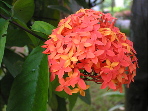 Ixora red, flowers throughout the year