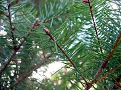 Close-up: pine tree