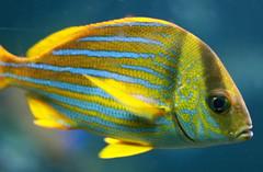 animal, fish, yellow, fish, organism, marine biology, macro photography, fauna, close-up, underwater, pomacentridae, pomacanthidae,