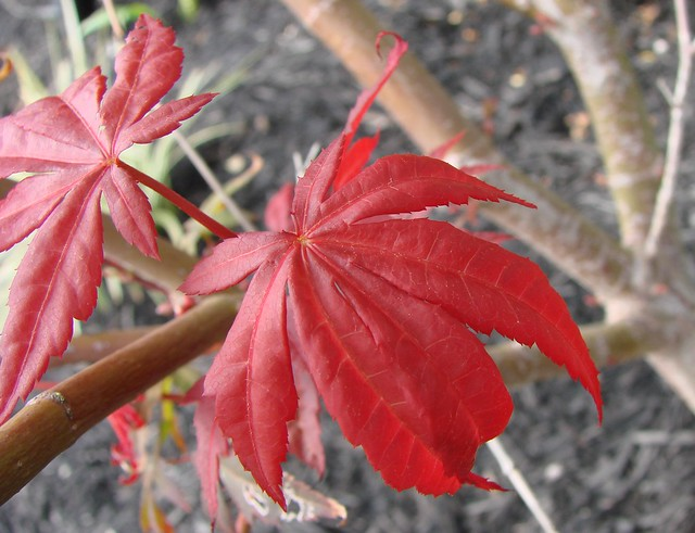 Japanese Maple Leaves A Young Japanese Maple Tree 39 S Leaf
