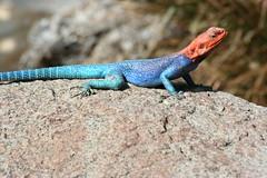 agama, animal, reptile, lizard, fauna, agamidae, scaled reptile, wildlife,