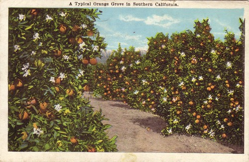 A Typical Orange Grove in Southern California