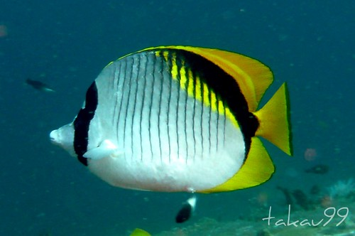 Lined Butterflyfish - Similan Islands, Thailand