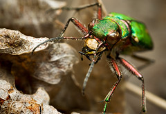 Tiger Beetle II