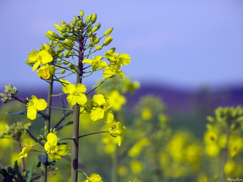 canola flower garden - photo #36
