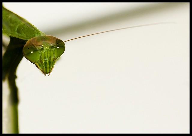 Mantis Creeping