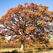 Oak Tree In Fall Colors by James Marvin Phelps