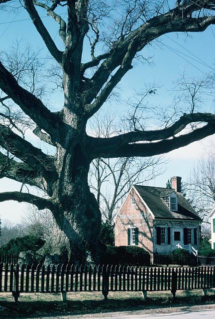 wye oak thenlargest oak tree in america flickr photo