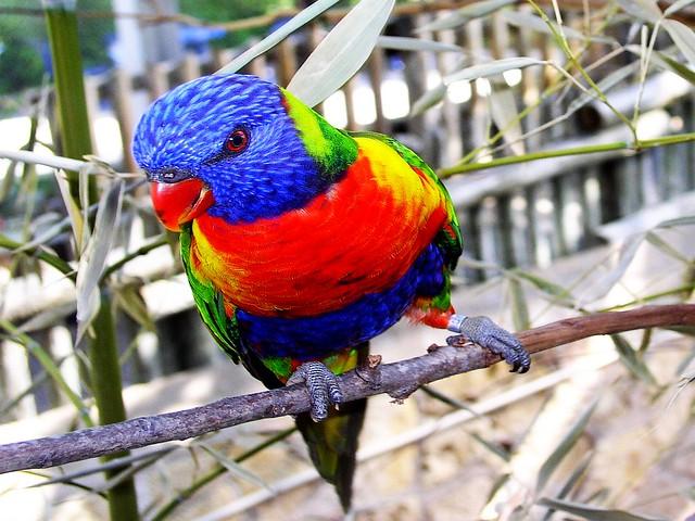 parakeet colors - photo #13