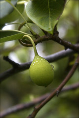 Baby Pear