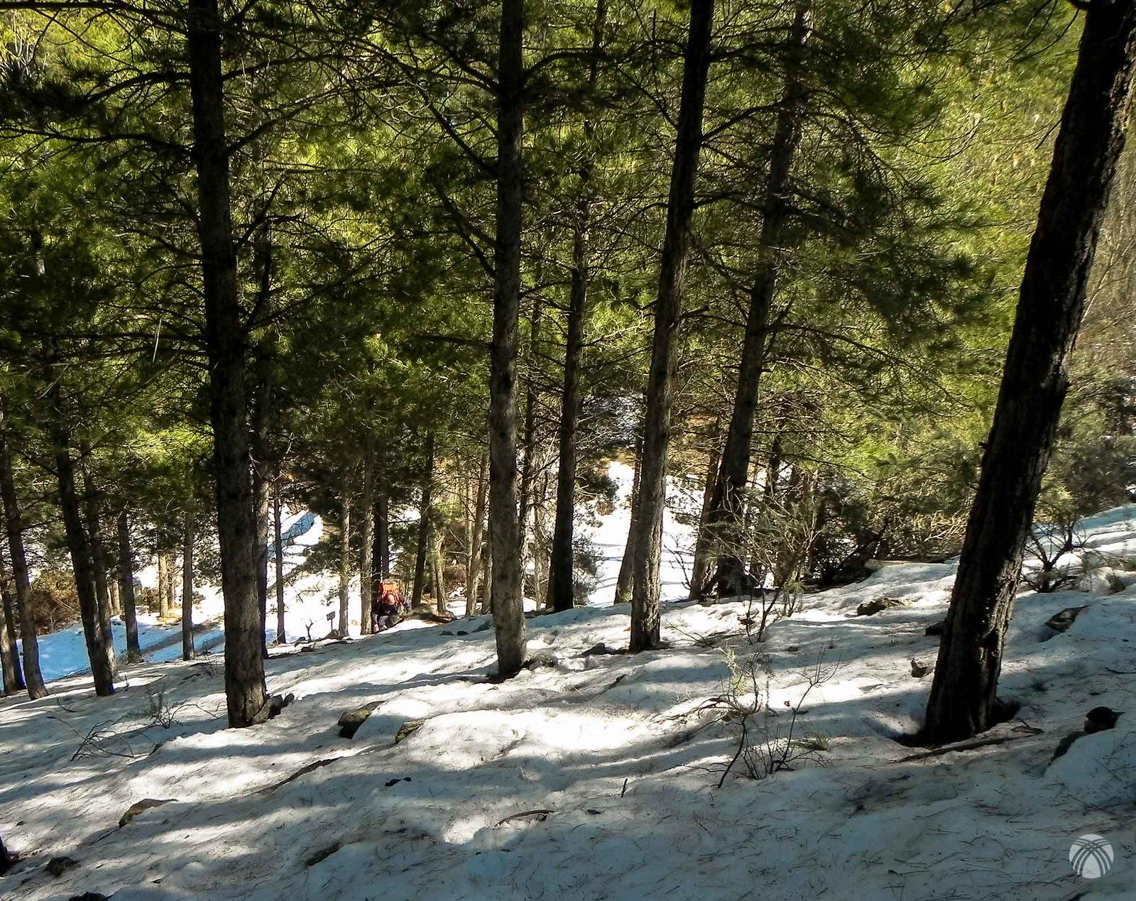 Los pinos, la nieve y la cuesta