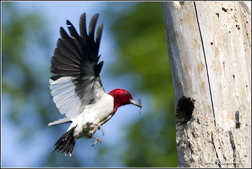 20110607-0930 Red-headed Woodpecker (explore)