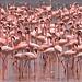 Flamingo by Thomas Retterath