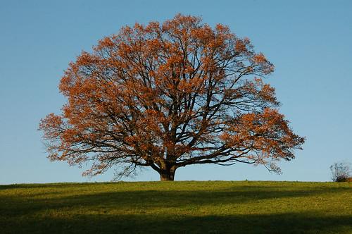 "autumn trees sunset nature germany landscape bayern bavaria nikon scenery heaven colours oberbayern upperbavaria baum eiche naturesfinest chiemgau nikon18200vr ""nikonflickraward"""