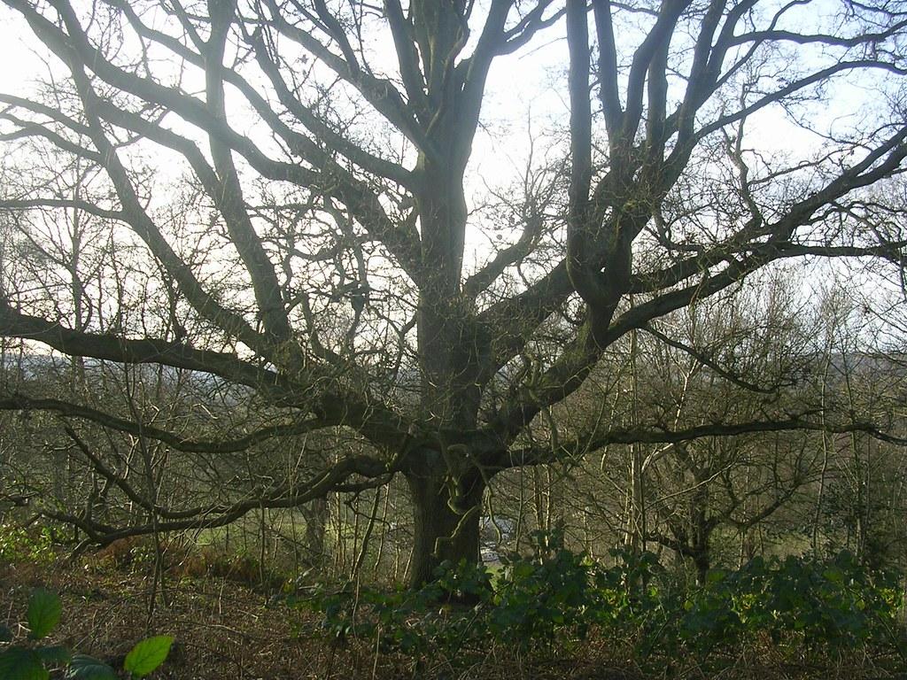 tree free walk 32 Holmwood to Reigate