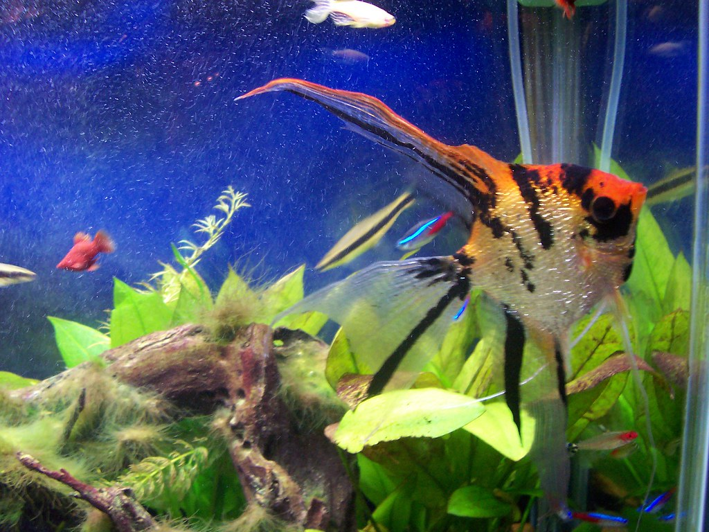 My angel fish in my 55 gallon freshwater aquarium www for Big freshwater aquarium fish
