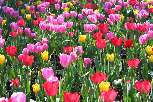 Tulips Everywhere