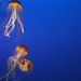 Lots of Jelly Fish by weeence