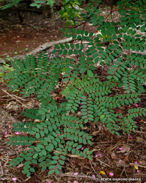 Adenanthera pavonina - Red  Sandlewood