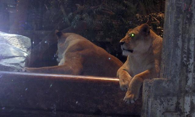 Laser Lion