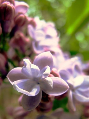 pink flowers macro lilac romania brasov ringexcellence