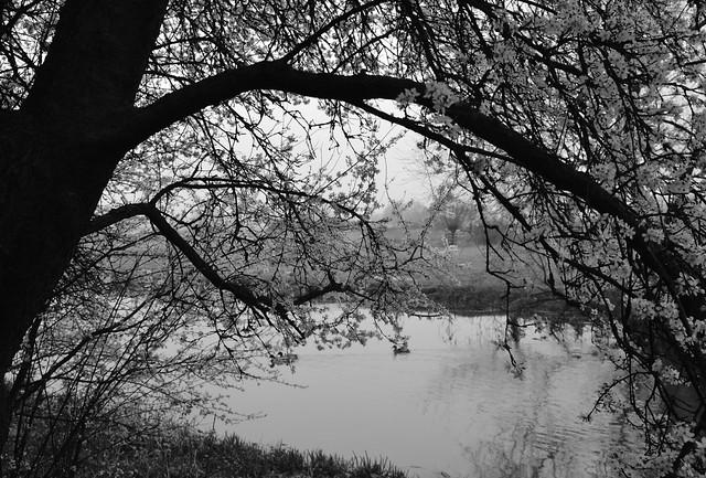 Denford, Blossom. 71/365.