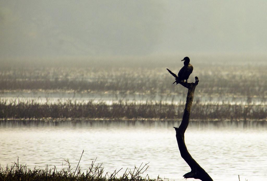 cormorant_landscape_crop_2