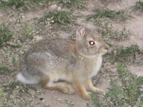Ear Less Rabbit