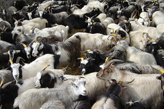 Goat herd in Yara, Mustang