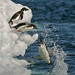 Adelie Penguins dive into the sea to go fishing _MG_9012 by WildImages