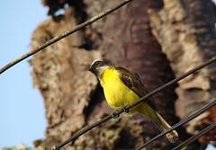 pássaros do sítio