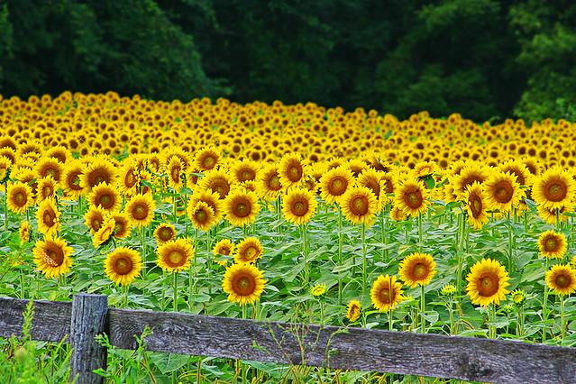 Sunflower Field | Flickr - Photo Sharing!
