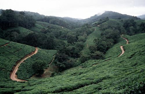 tanzania amani teaestate usambaramountains teabushes tangaregion tanzanianteafarm eastafricanscene