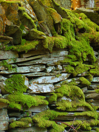 Moss on a Manx stone wall