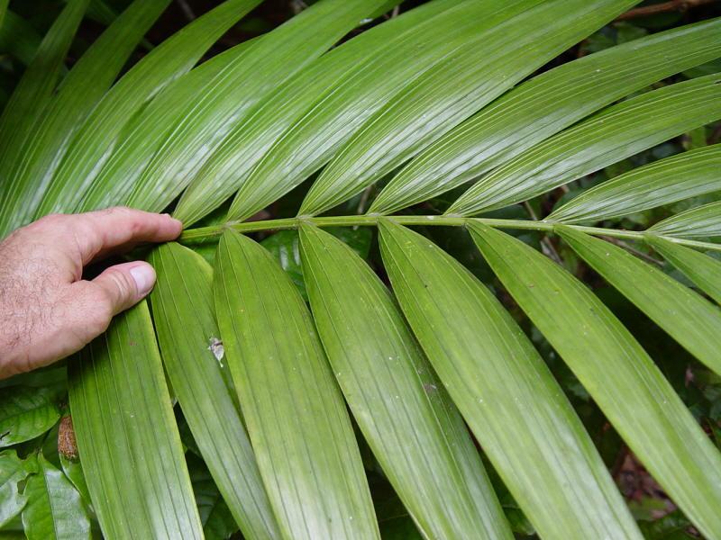 Photo: Kentia Palm