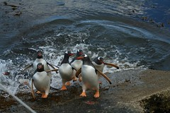 puffin(0.0), animal(1.0), penguin(1.0), flightless bird(1.0), bird(1.0), seabird(1.0),