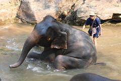 chimpanzee(0.0), ape(0.0), animal(1.0), indian elephant(1.0), elephant(1.0), zoo(1.0), elephants and mammoths(1.0), fauna(1.0), mahout(1.0), wildlife(1.0),