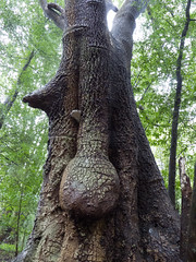 big nose tree