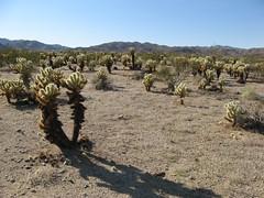 Joshua Tree National Park (Cholla Cactus Garden)