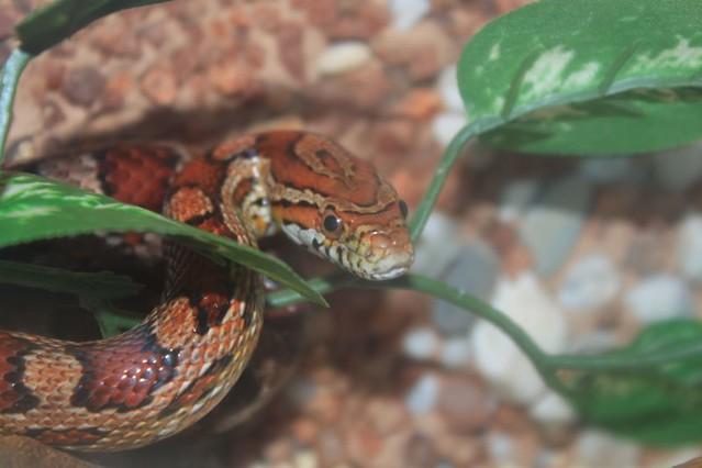 Corn snake - Wikipedia