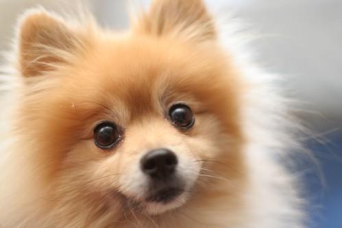 Le Poofy Dog