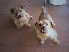 dog breed, animal, dog, schnoodle, pet, norfolk terrier, glen of imaal terrier, mammal, norwich terrier, morkie, border terrier, lakeland terrier, cairn terrier, australian terrier, terrier,