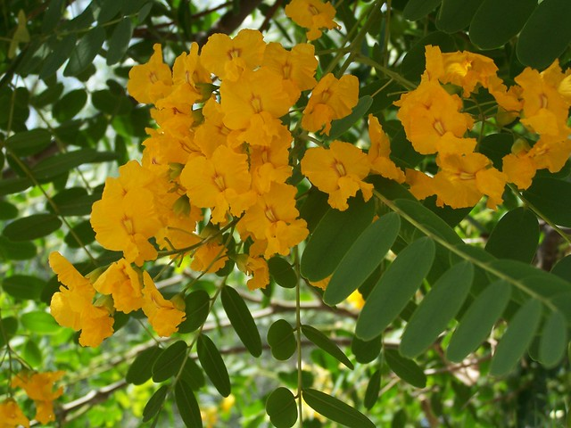Yellow flowering trees a gallery on flickr tipuana tipu mightylinksfo
