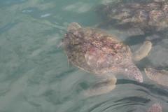 animal, turtle, reptile, loggerhead, marine biology, fauna, sea turtle,