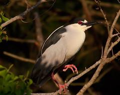 black-crowned-night-heron-creeping