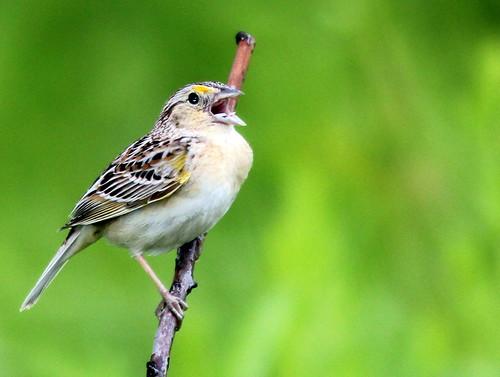 Grasshopper Sparrow 2-20110610