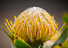 Yellow Pincushion Flower by ChrisGotz