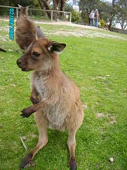wallaby, animal, marsupial, mammal, kangaroo, fauna,