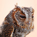 Flammulated Owl - Photo (c) Jerry Oldenettel, some rights reserved (CC BY-NC-SA)